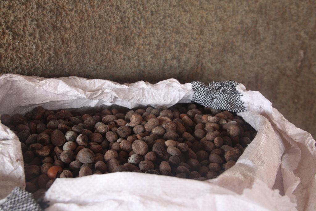 Harvested Shea Beans